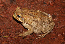 Cane toad venom could lead to cancer cure