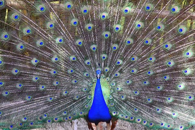 एक मोर का पंख बदल सकता है जीवन की दिशा