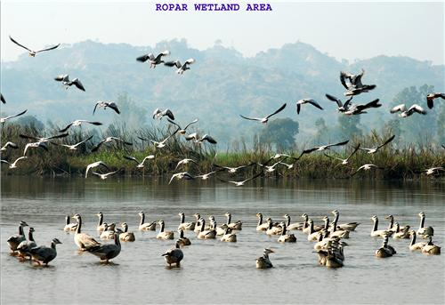 Birds at Ropar Wetland