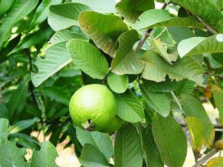 Guava Safeda Allahabad