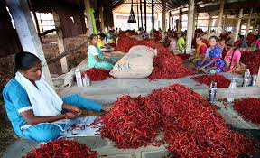Chillies in Guntur