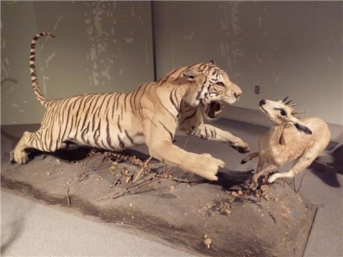 Real Looking Specimen at Bengal Natural History Museum in Darjeeling