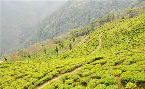Backpacking at Singell - Ambootia Tea Estate in Darjeeling