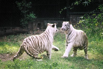 Tiger cubs playing at National Zoological Park