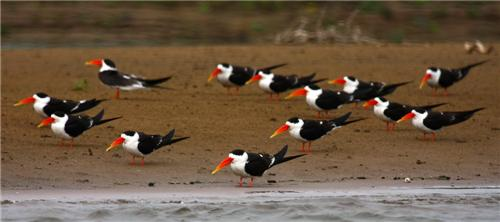 Birds at National Chambal Wildlife Sanctuary in Dholpur