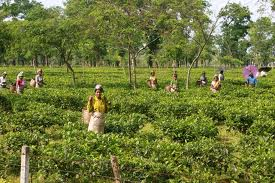 living in a tea estate