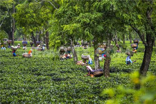 Tea estates in Dibrugarh