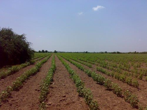 Cotton Field around Dhola