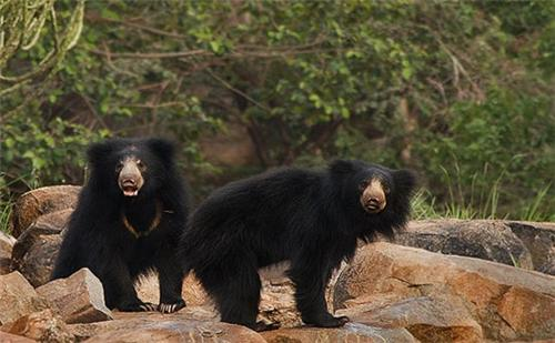 Daroji Sloth Bear, Hampi