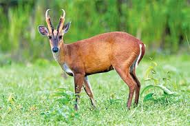 Barking Deer in Himachal Pradesh