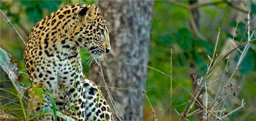 Leopard at Gopalpur Nature Park