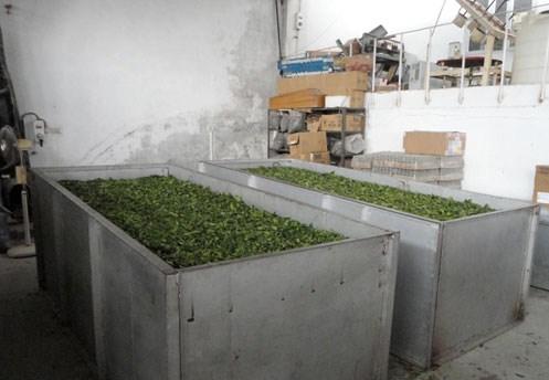 Tea Processing in Palampur