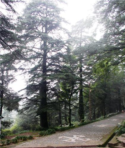 Conifer Trees at Dharamsala