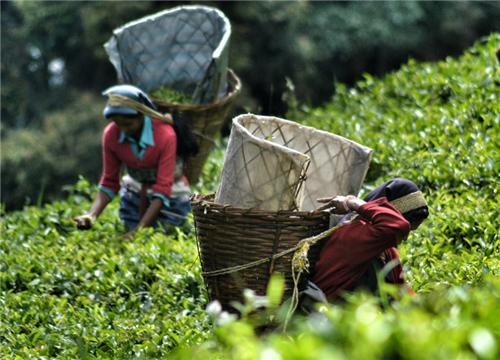 Tea Leaves Plucking