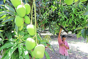 Farm fresh fruits in Hoshiarpur