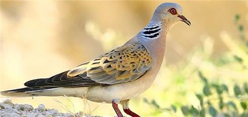 Species of Birds found in Surinsar and Mansar Wildlife Sanctuary at Jammu