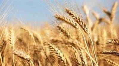 http://im.hunt.in/cg/Jind/City-Guide/m1m-wheatinjind.jpg