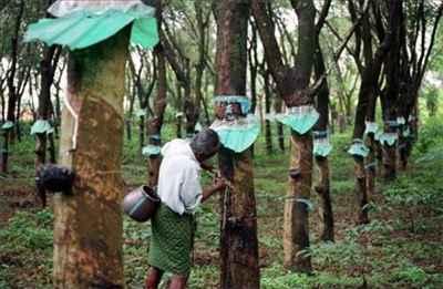 Rubber Harvesting in Kottayam