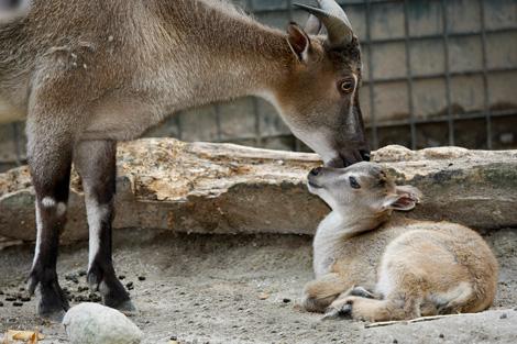 Animals inside the Khokhan Wildlife Sanctuary in Kullu