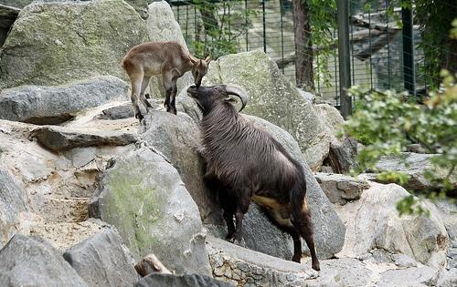 Himalayan Tahr in Tirthan Wildlife Sanctuary in Kullu