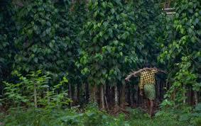 Betel Plantation in Malappuram