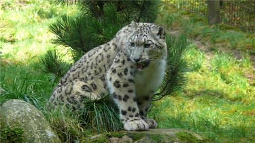 Snow Leopards in Pin Valley National Park near Manali