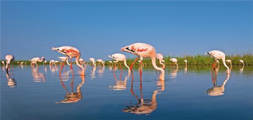 Flamingoes in Rann of Kutch