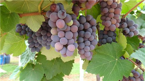 Winery-Tours-in-and-around-Nashik