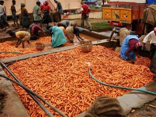 Carrot Farming in Ooty
