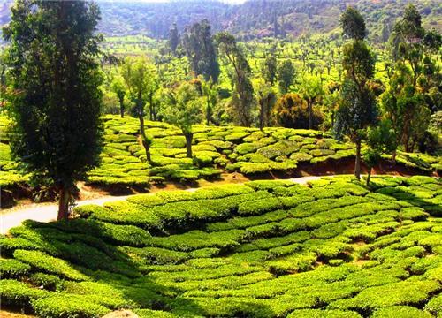 Tea Plantation in Ooty