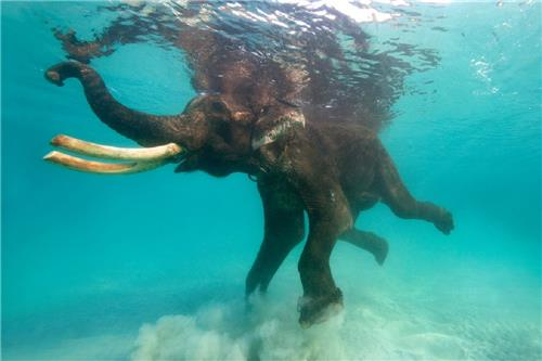 A swimming elephant at the Little Andaman Beach