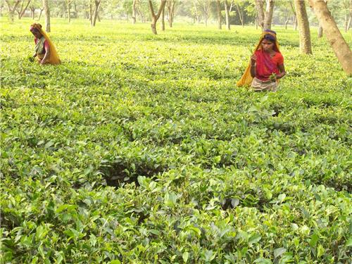 Tea garden in Kishanganj