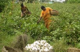 Cotton Cultivation in Secunderabad