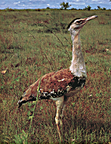 The Great Indian Bustard Sanctuary