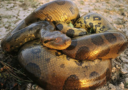 Anacondas in Thiruvananthapuram Zoo
