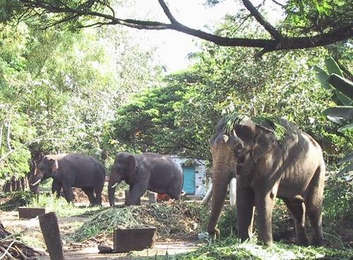 Elephants being trained at the Elephant sanctuary in Thrissur.