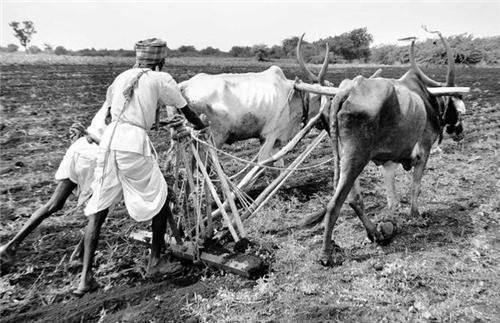 Agriculture in Bijapur