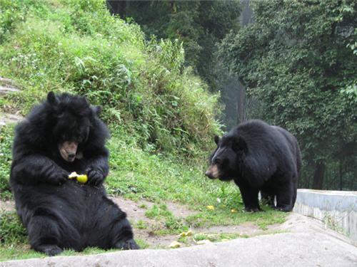 Himalayan Bears At Open Air Zoo