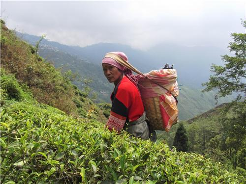 Tea Leaves Being Plucked In Darjeeling Tea Garden