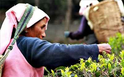 Business and Industries of Darjeeling