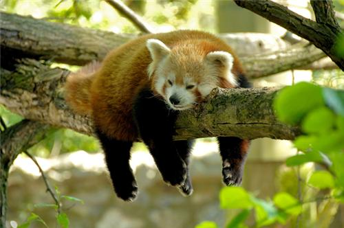 Red Pandas At Singalila National Park
