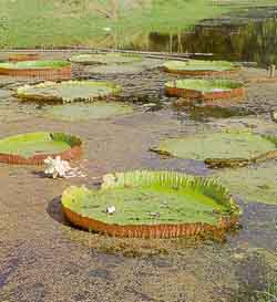 Giant lilly in Botanical Garden