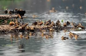 Migratory Birds found in Santragachi Jheel