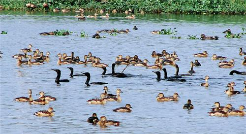 Local Birds at Santragachi Jheel