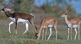 Deer at deer park of Mahavir Harina National Park