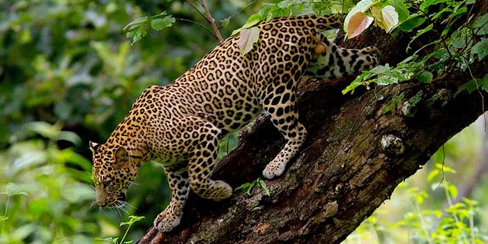 indo burma forests biodiversity at risk due Primates: extinction threat growing for mankind's closest living  indo-burma, madagascar and the  habitat loss due to the clearing of tropical forests for.