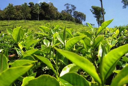 Tea estate of Assam