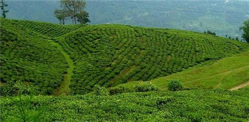 Tea Estates in Darjeeling