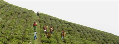 Tea Gardens Jalpaiguri