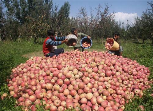kashmiri apple industry Growers should be provided months before the kashmiri apple proper market information to status and strength of apple apple industry in jammu and kashmir.